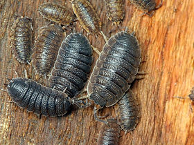 Slaters or woodlice Control and treatments in Wellington, Hutt Valley and Porirua