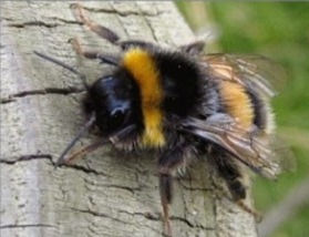 Bumblebee Treatments and pest control in Wellington Porirua and Hutt Valley