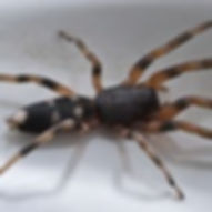 A white tailed spider, Spider treatments and pest control in Wellington, Hutt Valley and Poriruas