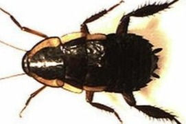Gisborne Cockroach or Garden Cockroach treatments an control in Wellington, Hutt Valley and Porirua. Integrated Pest Management