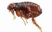 Flea Treatments for home in wellington Hutt Valley and Porirua
