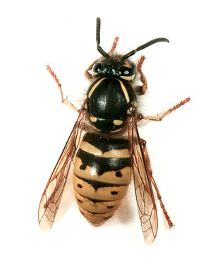 German Wasp control and all pest control eradication in Wellington Hutt Valley and Porirua