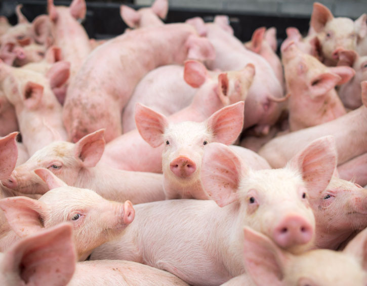 Piglets via Animal Agriculture, hog farming
