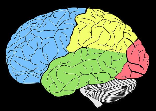 lobes-of-the-brain-human-brain-temporal-