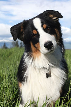 australian-shepherd.jpg