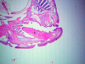 Visão geral da parte anterior do Zebrafish