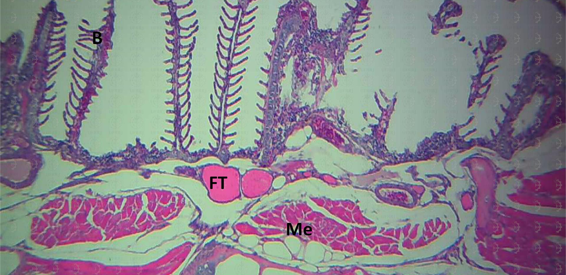 Faringe e Brânquias