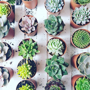 Succulents available at Marketfair Stall