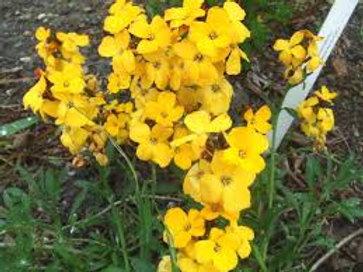 Giroflée jaune