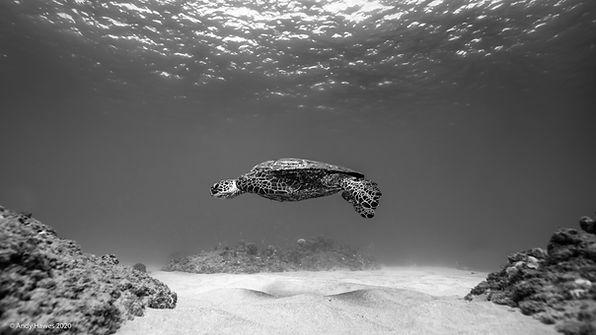 AndyHawesPhotography_Turtle.jpg