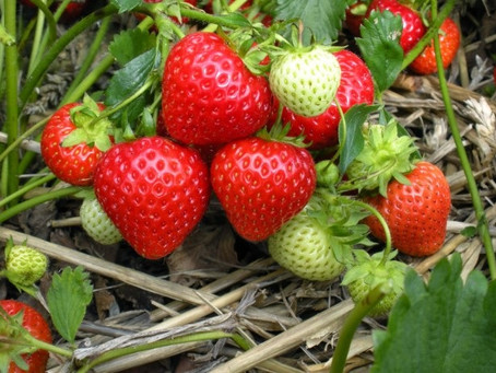The Strawberry Story – A Cherokee story