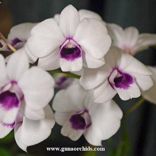 Dendrobium Mini Compactum x Burana White MS
