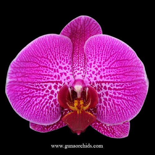 Phalaenopsis Lianher Red Apple BS