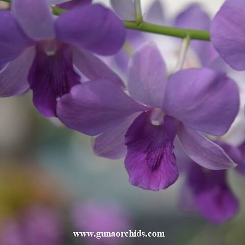 Dendrobium Blue Planet MS