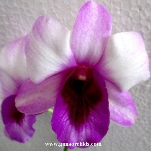 Dendrobium Endless Love MS