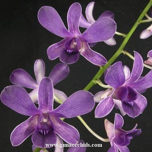 Dendrobium Blue Violetta MS
