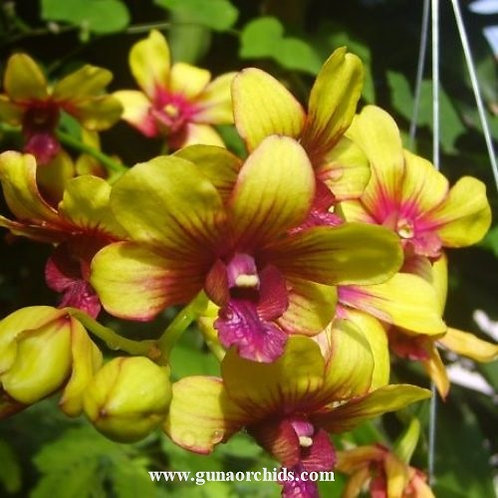 Dendrobium Yellow Red Stripe MS