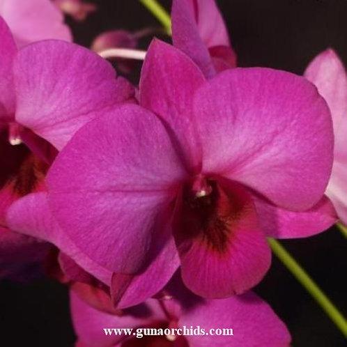 Dendrobium Udomsri x Thailand MS