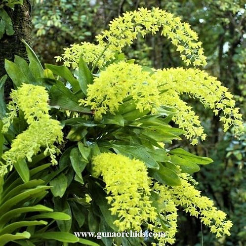 Grammatophyllum Scriptum var. Citrinum BS