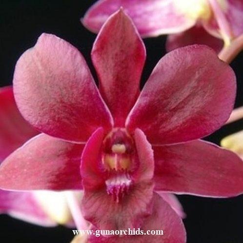 Dendrobium Christmas Red MS