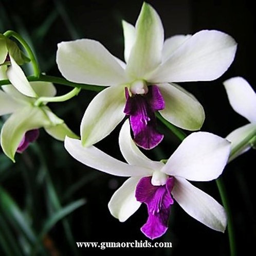 Dendrobium Woonleng Chaopraya MS