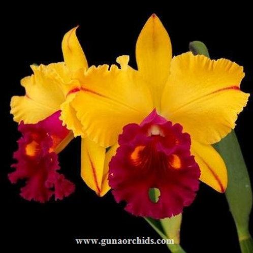 Cattleya Tainan Gold BS