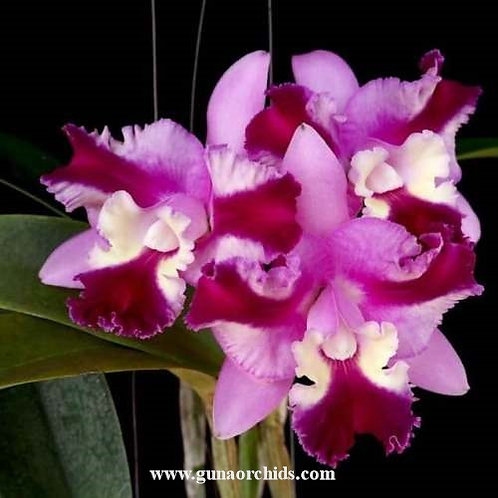 Cattleya Mary Song x Interglossa No.2 NBS