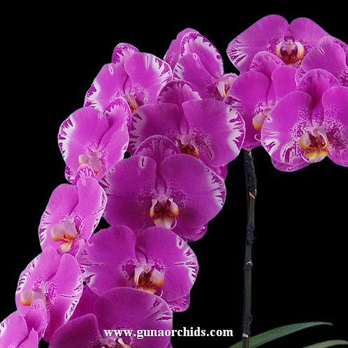 Phalaenopsis OX King x Fuller's Purple Queen BS