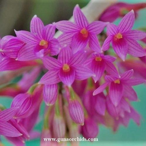 Dendrobium Miyakei BS