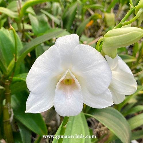 Dendrobium Nano White MS