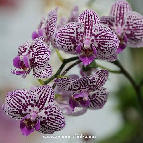 Phalaenopsis Lioulin Elf × Chian Xen Piano BS