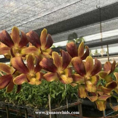 Dendrobium Latte MS