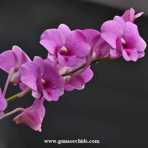 Dendrobium Bigibbum MS