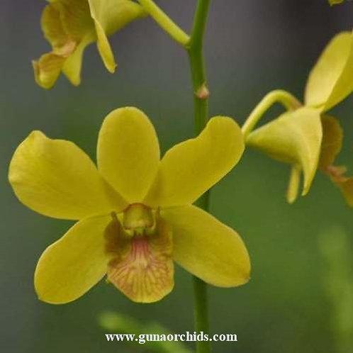 Dendrobium Nopporn Gold MS