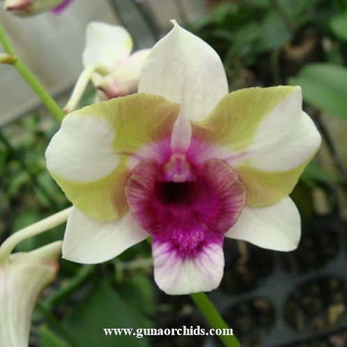 Dendrobium Baby Happy Holidays MS