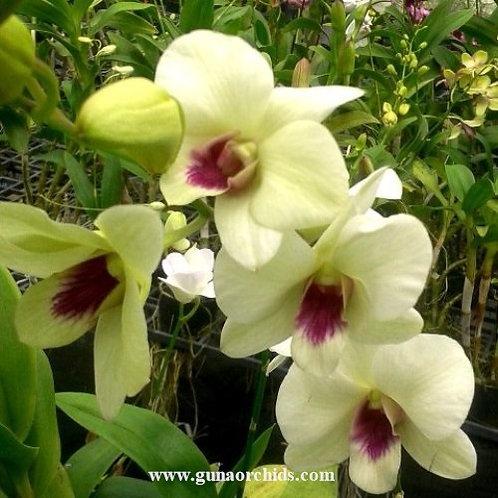 Dendrobium Burana Green x Chaisri Gold MS