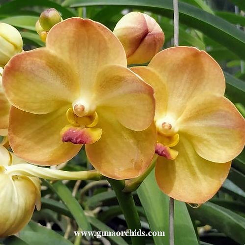 Vanda Yellow Butterfly BS