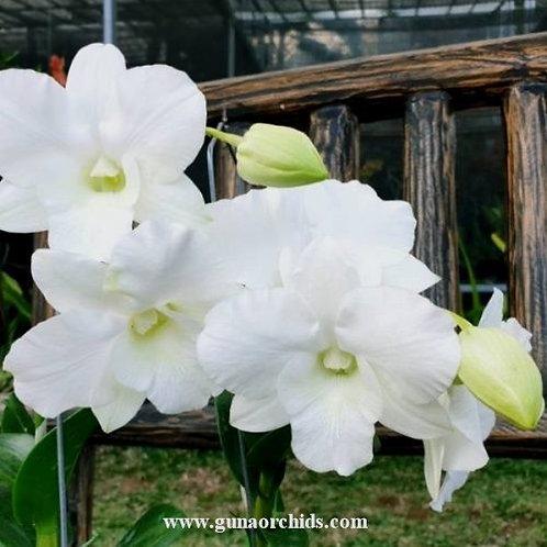 Dendrobium Happy White MS