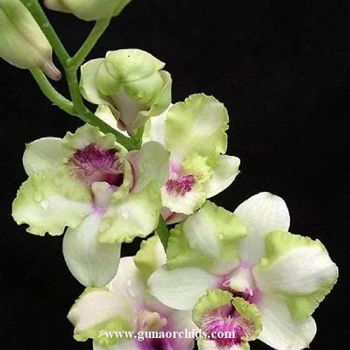 Dendrobium Anucha Flare x Thongchai Gold MS