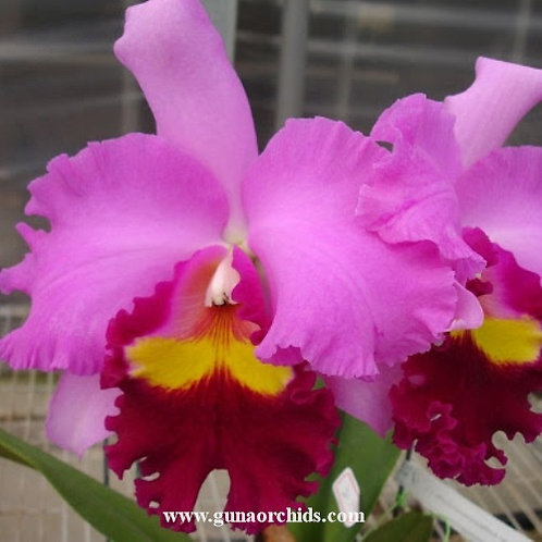 Cattleya Taichung Beauty BS