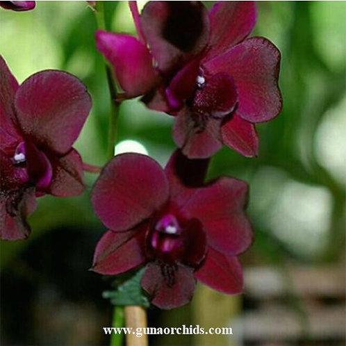 Dendrobium Black Cat MS