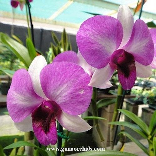 Dendrobium Ekapol x Pale Face MS