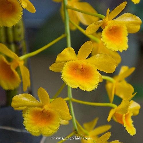 Dendrobium Chrysotoxum BS