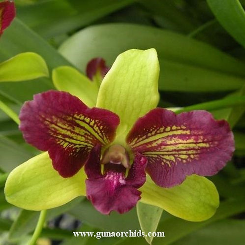 Dendrobium Purple Green 3 Lip MS