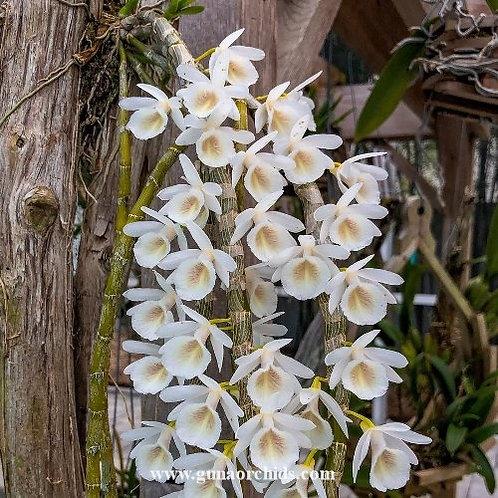 Dendrobium Cretaceum BS