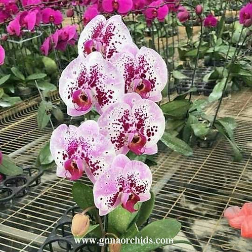 Phalaenopsis Chian Xen Mammon x Tinny Honey BS