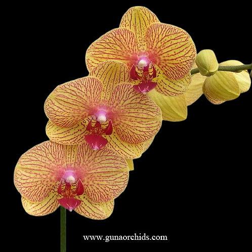Phalaenopsis Taida Beauty BS
