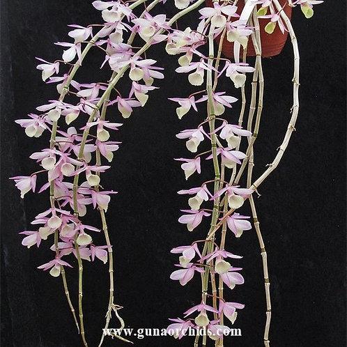 Dendrobium Aphyllum - WM | BS