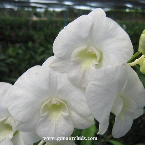 Dendrobium Hirota x Burana White MS