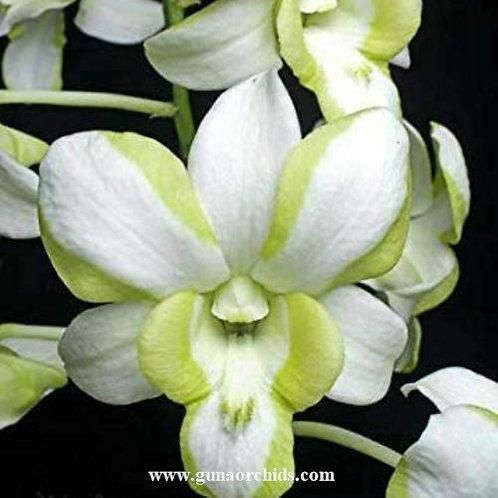 Dendrobium Liberty White BS